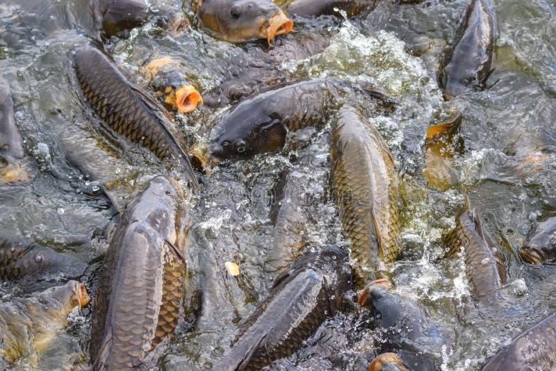 Karper het voeden waanzin bij Pymatuning-Meer stock foto's