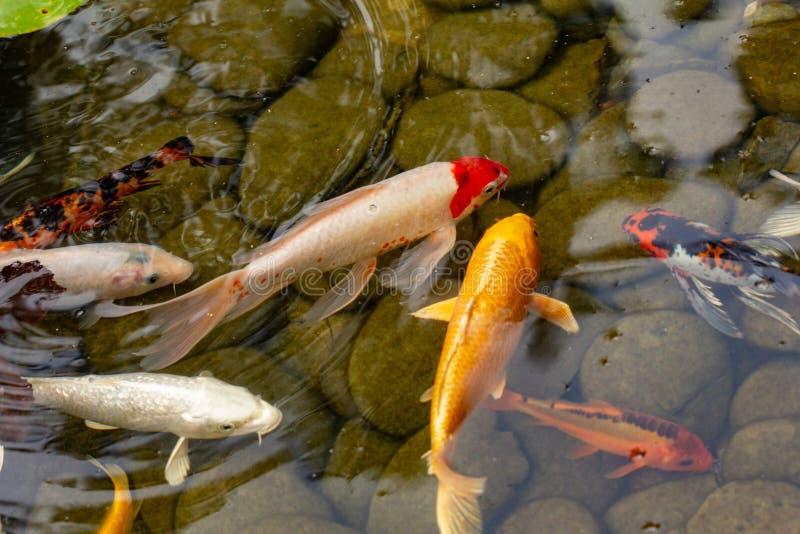 Karper in vijver, kleurrijke vis, aquatisch stock fotografie