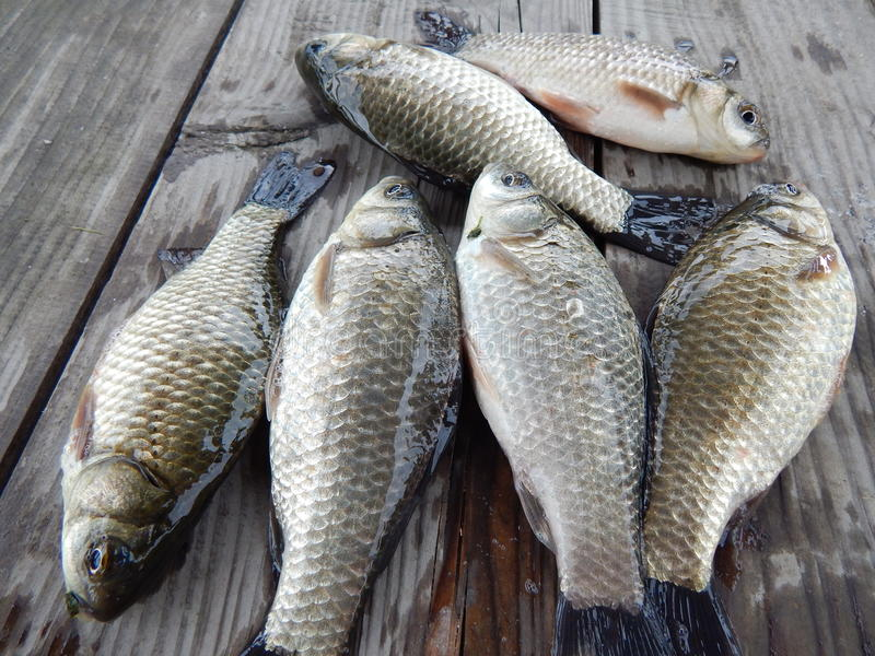 Karper visserij stock afbeeldingen
