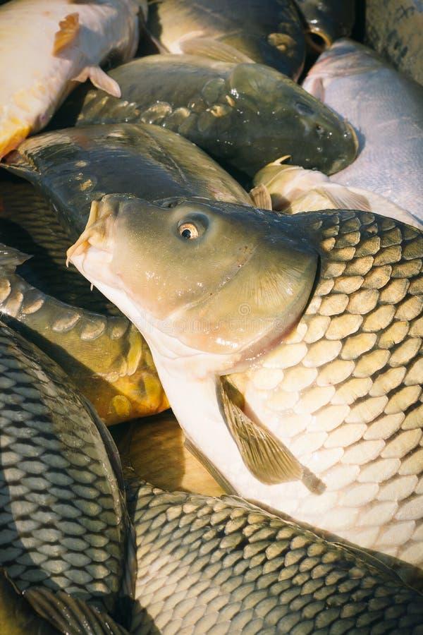 Karper visserij stock foto's