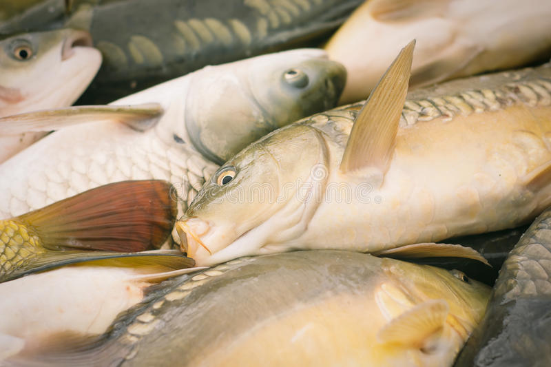 Karper visserij royalty-vrije stock foto's
