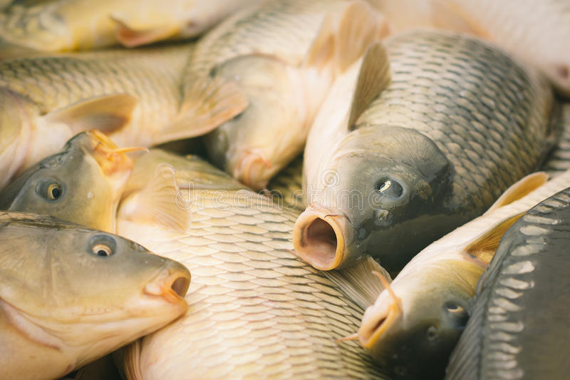Karper visserij stock fotografie