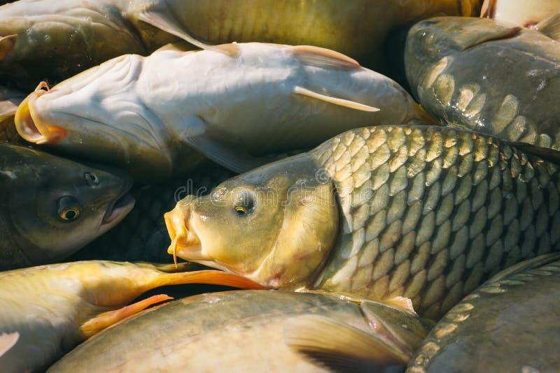 Karper visserij stock foto