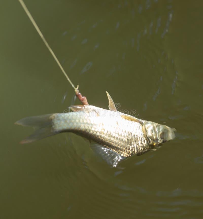 Karpervissen op de haakstaaf stock foto