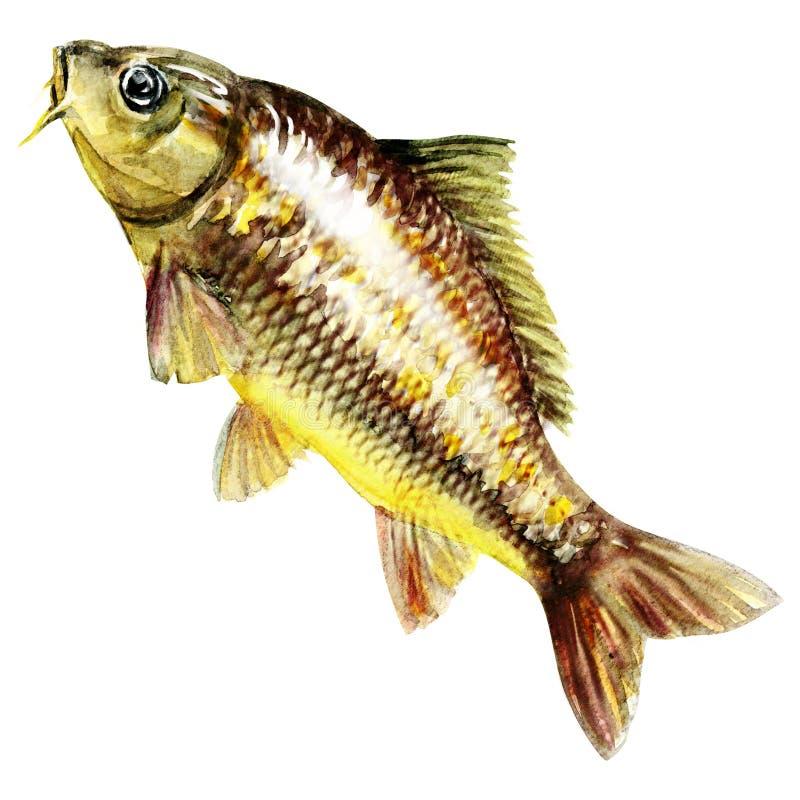 Karpervissen. waterverf het schilderen royalty-vrije stock foto
