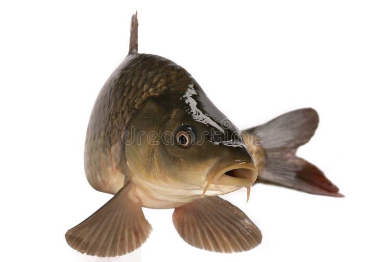 Karpfen stockfoto