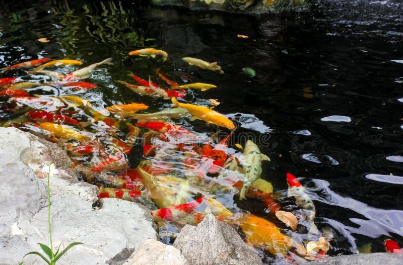 Karpfisk eller koifisk som simmar inom ett damm av vatten arkivbilder