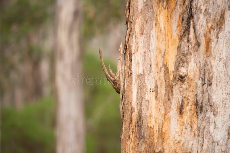 Karri Drzewny Eukaliptusowy Lasowy Australia obrazy royalty free