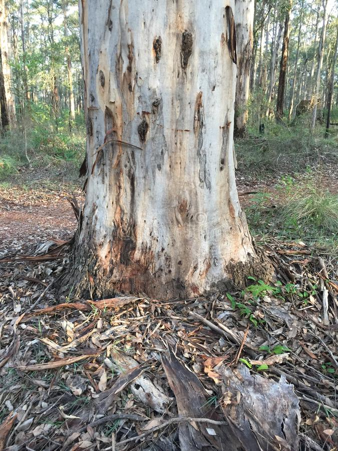 Karri drzewo obraz stock