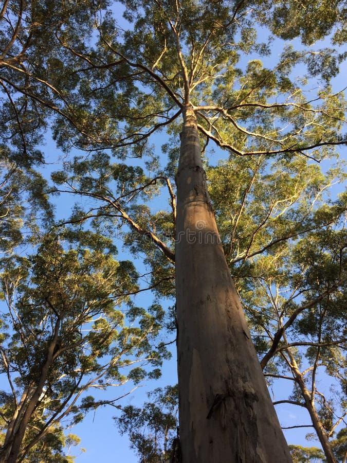 Karri drzewo fotografia stock
