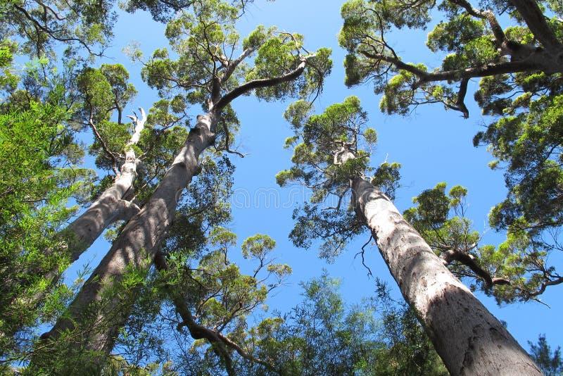 Karri Trees västra Australien royaltyfria foton