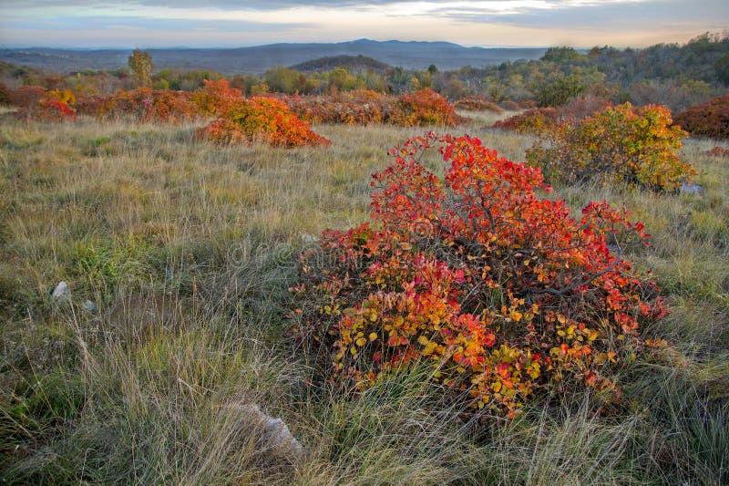 Karsian vermelho Smoketree imagem de stock