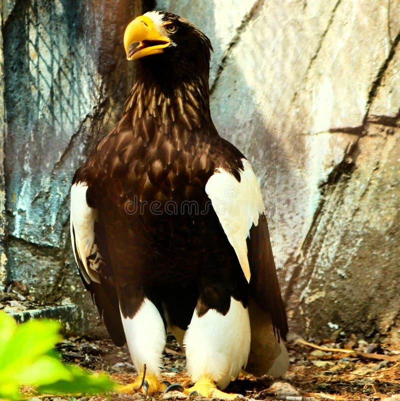 Kartal Fleischfresser Eagle-Vogels stockfotos