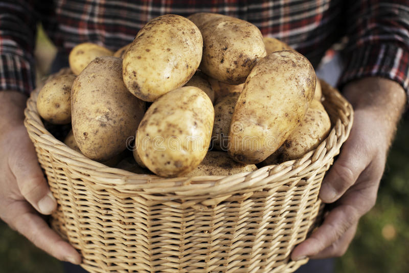 Kartoffel-Ernte stockfotos