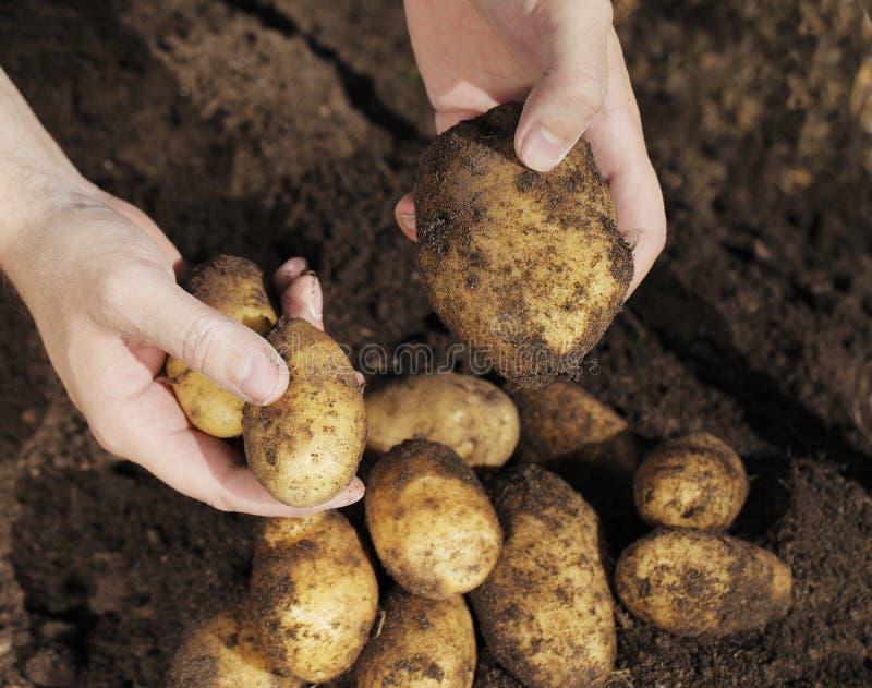 Kartoffel-Ernte stockfoto