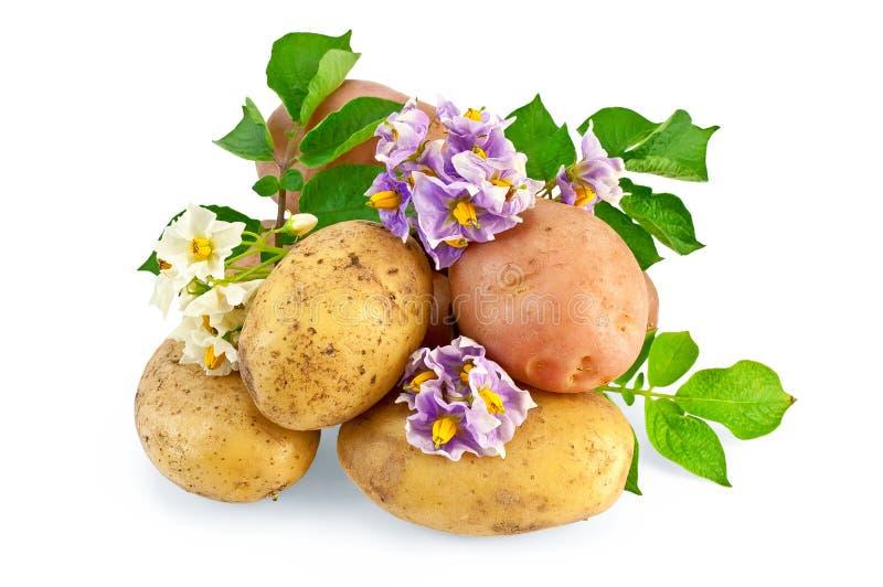 Kartoffel gelb und rosafarben mit einer Blume lizenzfreies stockfoto