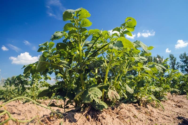 Kartoffelacker in Polen lizenzfreies stockfoto