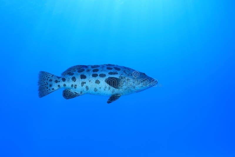Kartoffelbarsch-Fische undertwaer im Great Barrier Reef stockbild