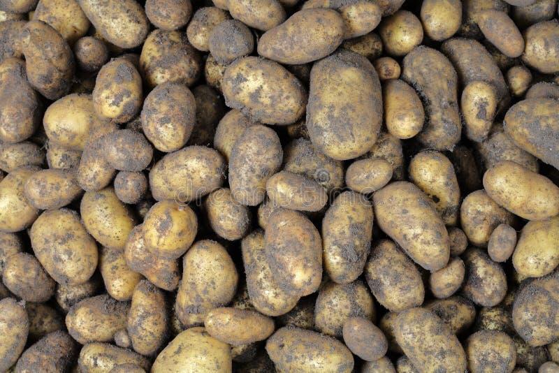 Kartoffelernte stockbilder