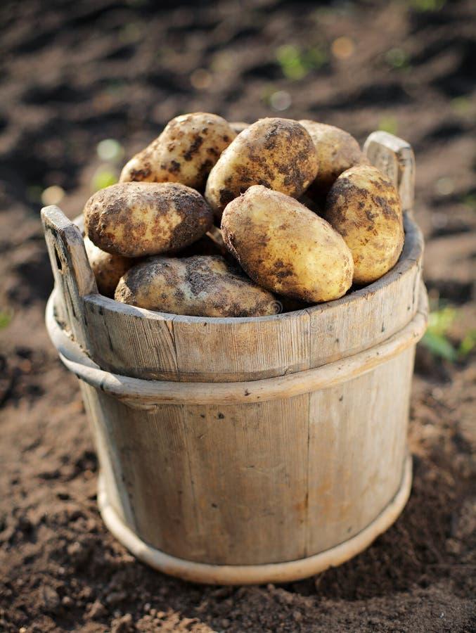 Kartoffelernte lizenzfreie stockbilder