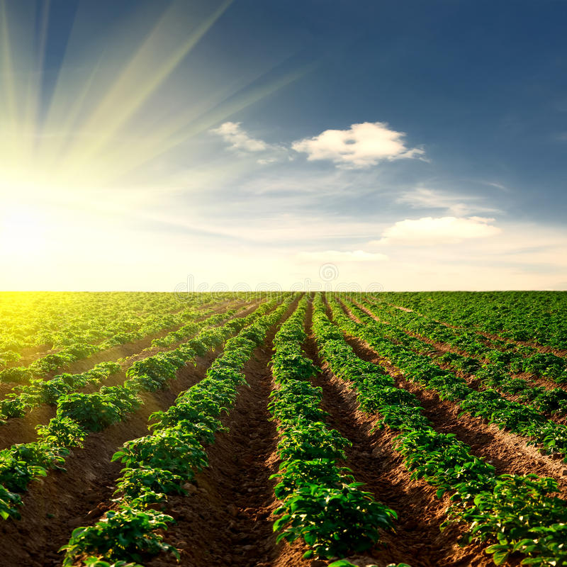 Kartoffelfeld auf einem Sonnenuntergang stockbild