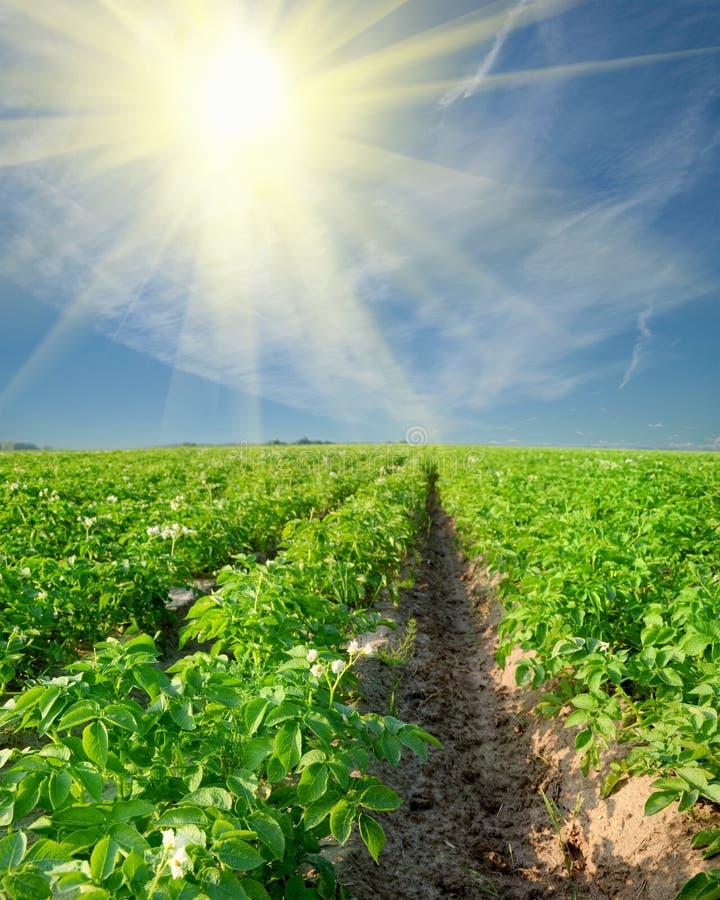 Kartoffelfeld an lizenzfreie stockfotos