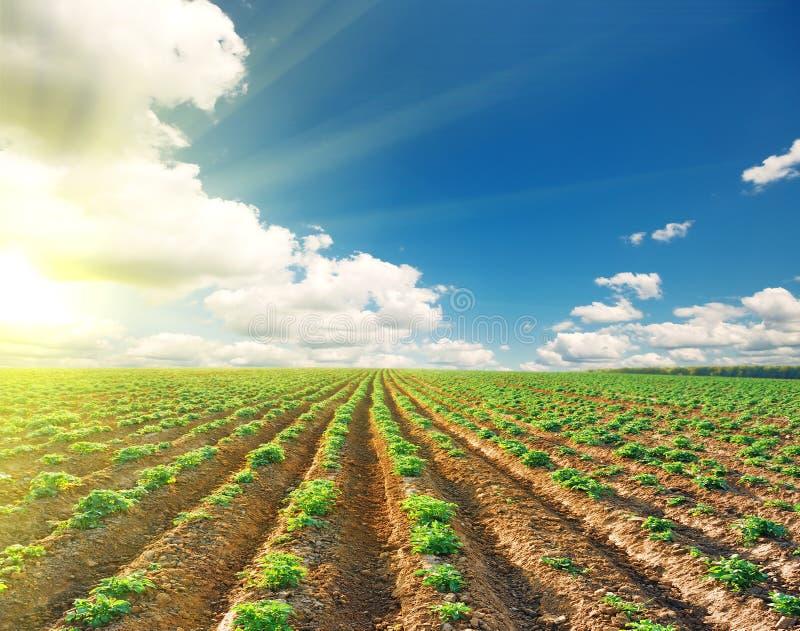 Kartoffelfeld unter Landschaft des blauen Himmels stockbild