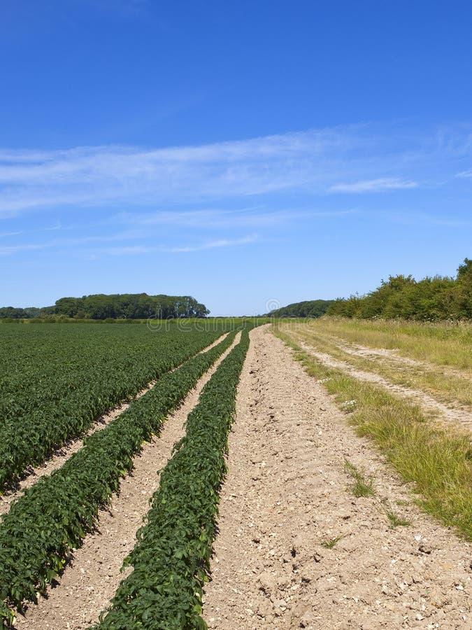 KartoffelGetreideanbau auf kreideartigem Boden in der Sommerzeit lizenzfreie stockfotografie