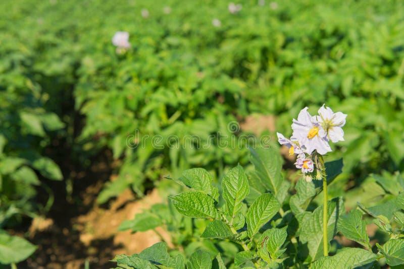 Kartoffeln auf dem Feld stockbilder