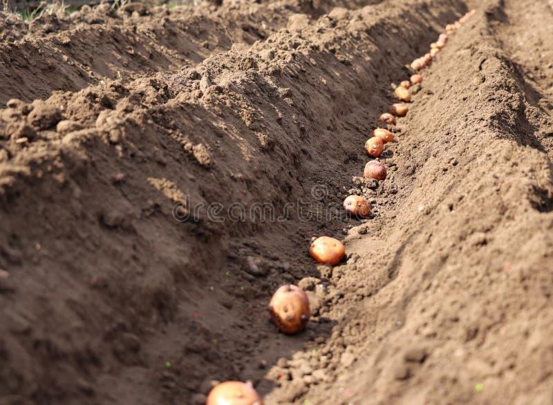 Kartoffeln, die gekeimt werden, werden im Boden ges?t lizenzfreie stockfotografie