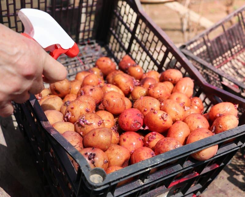 Kartoffeln, die gekeimt werden lizenzfreie stockbilder