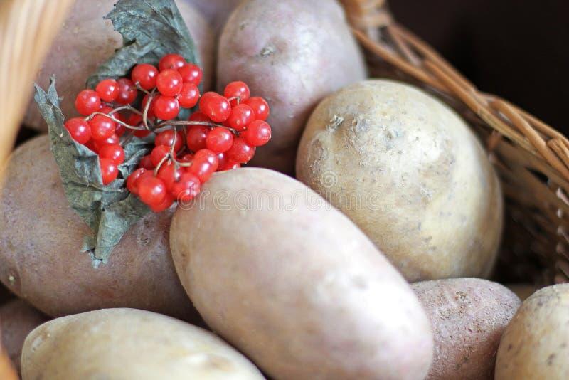 Kartoffeln und Viburnum in einem Korb Begriffserntegraphik mit verschiedenem Gemüse auf dem Feld ernte stockfotografie