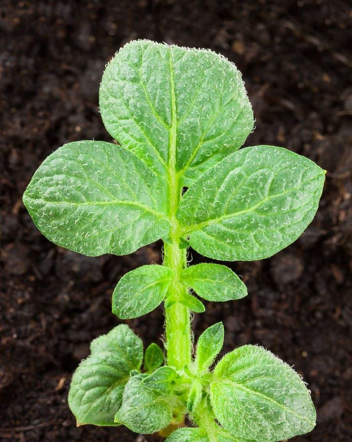 Kartoffelpflanze lizenzfreie stockfotografie