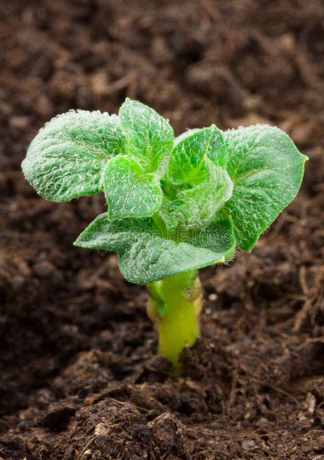 Kartoffelpflanze lizenzfreies stockbild