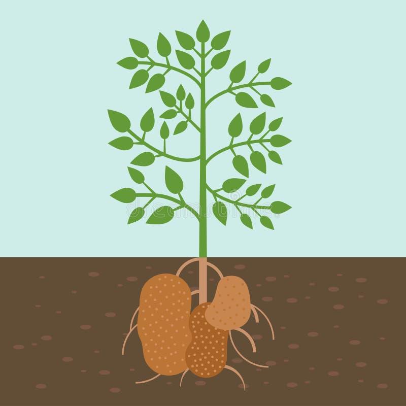 Kartoffelpflanze, Gemüse mit Wurzel in der Bodenbeschaffenheit, flacher Entwurf vektor abbildung