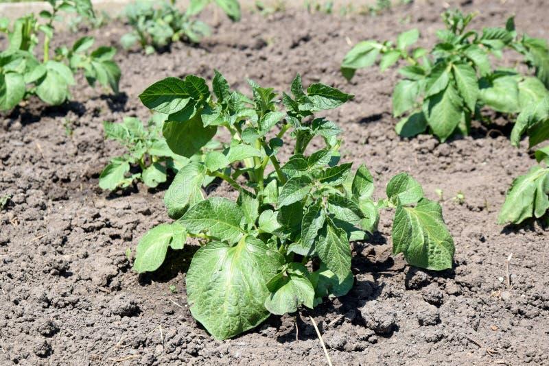Kartoffelpflanze-Solanum Tuberosum Ausgangsgartenarbeit-pflanzendes Foto auf Lager lizenzfreie stockfotografie