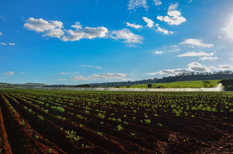 Kartoffelplantage lizenzfreies stockfoto