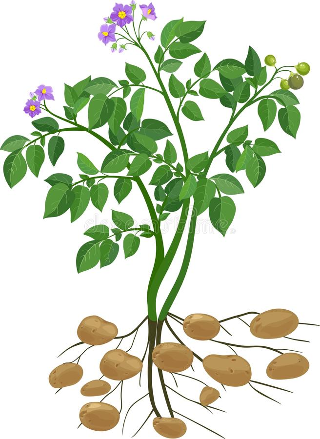 Kartoflana roślina ilustracji