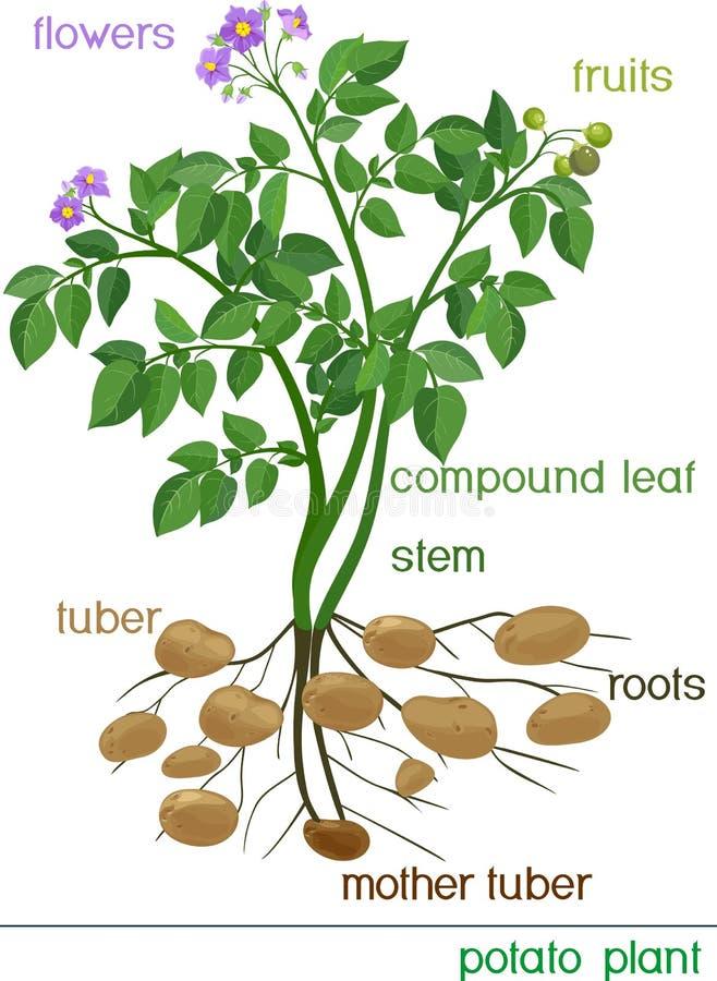 Kartoflana roślina ilustracja wektor