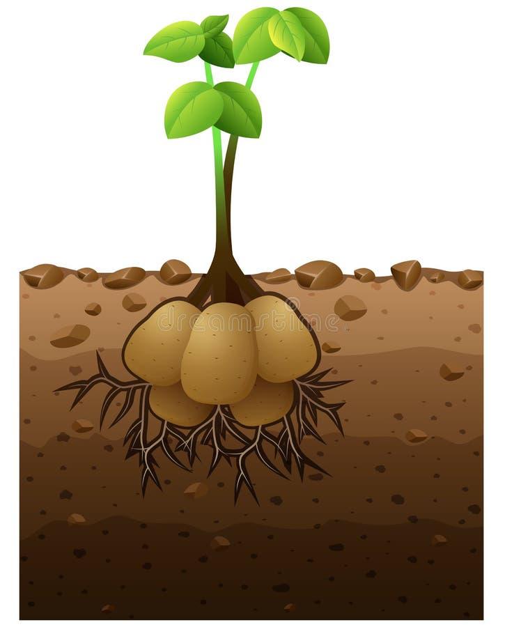 Kartoflana roślina z korzenia metra ilustracją royalty ilustracja