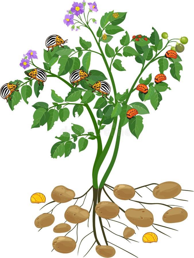 Kartoflana roślina z korzeniowym systemem i różnymi scenami rozwój Kolorado kartoflana ściga lub Leptinotarsa decemlineata ilustracji