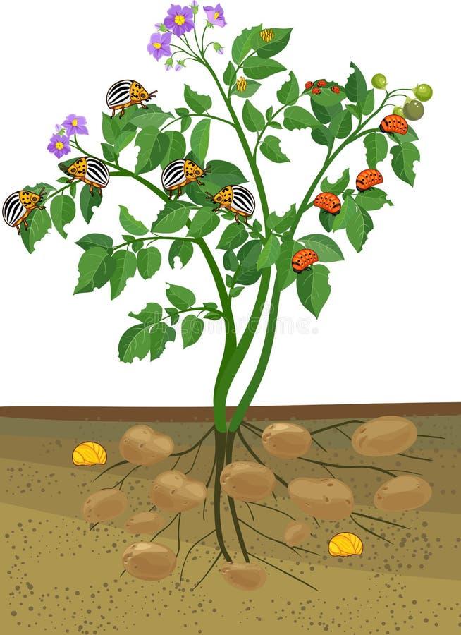 Kartoflana roślina z korzeniowym systemem i różnymi scenami rozwój Kolorado kartoflana ściga lub Leptinotarsa decemlineata ilustracja wektor
