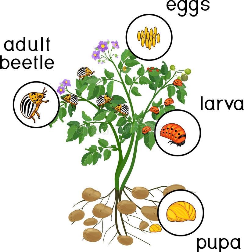Kartoflana roślina z korzeniowym systemem i scenami rozwój Kolorado kartoflana ściga lub Leptinotarsa decemlineata ilustracja wektor