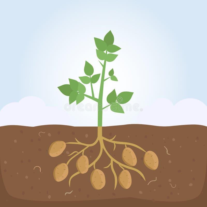 Kartoflana roślina z liśćmi i korzeniami ilustracja wektor