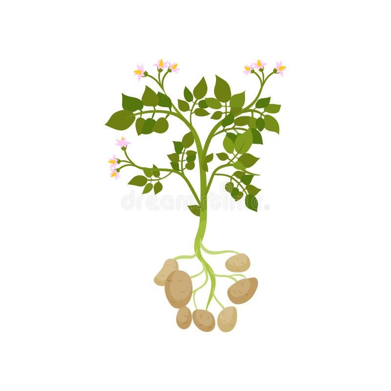 Kartoflana roślina z zielenią opuszcza i mały kwitnienie kwitnie surowy warzywo Organicznie produkt rolniczy Płaski wektorowy pro ilustracji