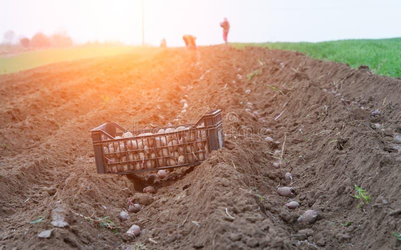 Kartoflane granie fotografia stock