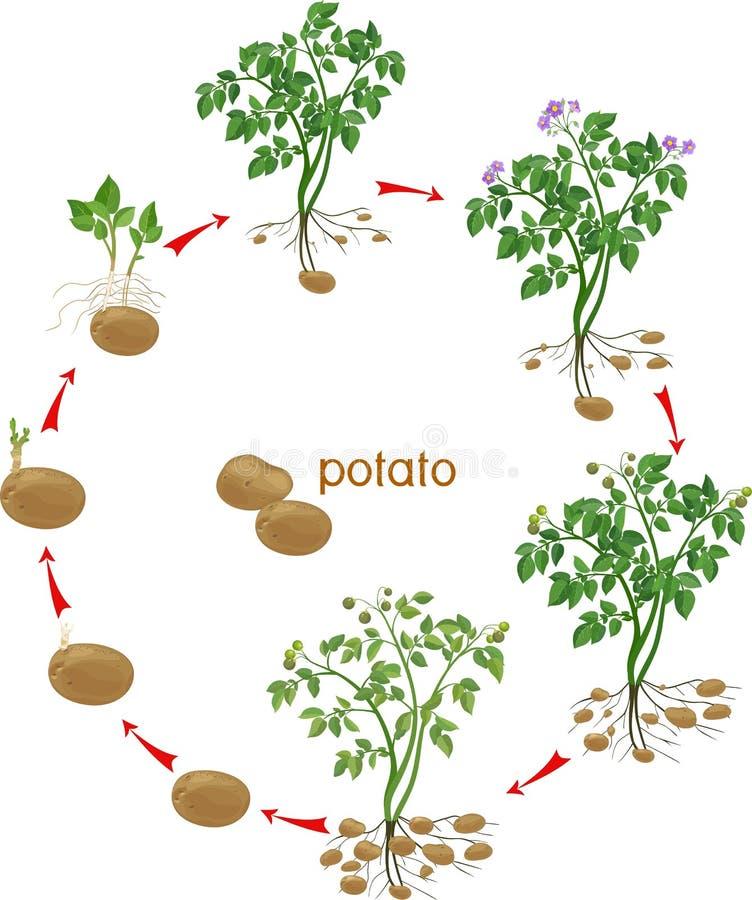 Kartoflanej rośliny wzrostowy cykl ilustracja wektor