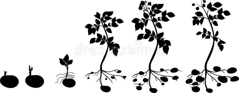 Kartoflanej rośliny wzrostowy cykl z sylwetkami rośliny ilustracji
