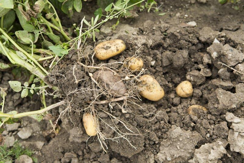 Kartoflany żniwo fotografia royalty free