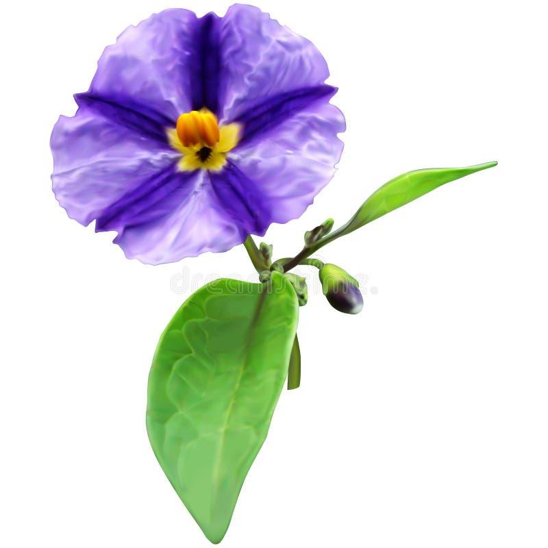 Kartoflany krzak rośliny kwiat (Solanum rantonnetii) royalty ilustracja